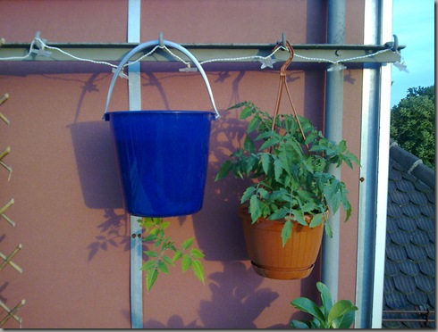 Both types of hanging tomato we have - let's compare again at the end of the season to see which were more successful!