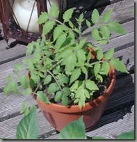 Hanging tomato plants in their pot, hardening off