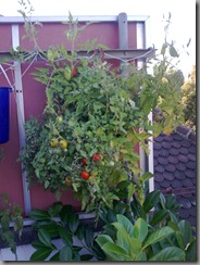 Hanging tomato pot two after returning from Paris