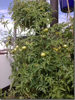 Tomatoes growing quite happily at the end of July. Cherry tomatoes are in the basket hanging above.