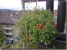 Hanging basket of cherry tomatoes showing a lot of red as they ripen