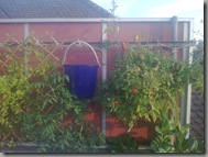 Hanging cherry tomatoes still providing nicely, upside down plant actually looking healthy!