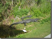 Gators sunning themselves in the early morning sunshine, you can see the trail we were on in the bottom right