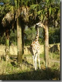 A giraffe sighted while on safari!