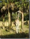 A giraffe sighted while on safari!