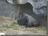Gorillas doing what they do best - not much
