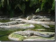 Alligators - as if we hadn't seen enough of them already!