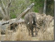 Elephant blending in quite well